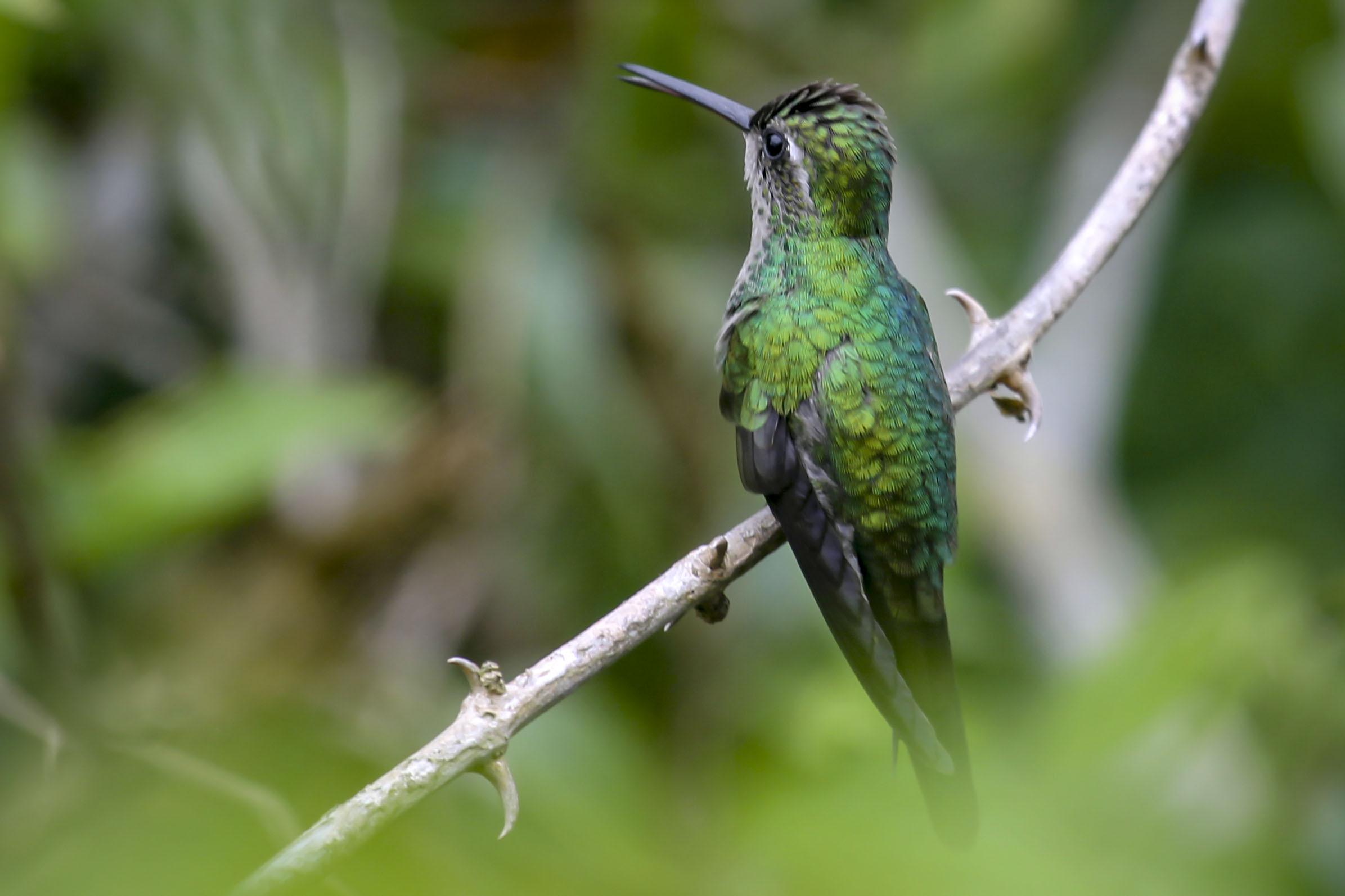 Cuba kolibri