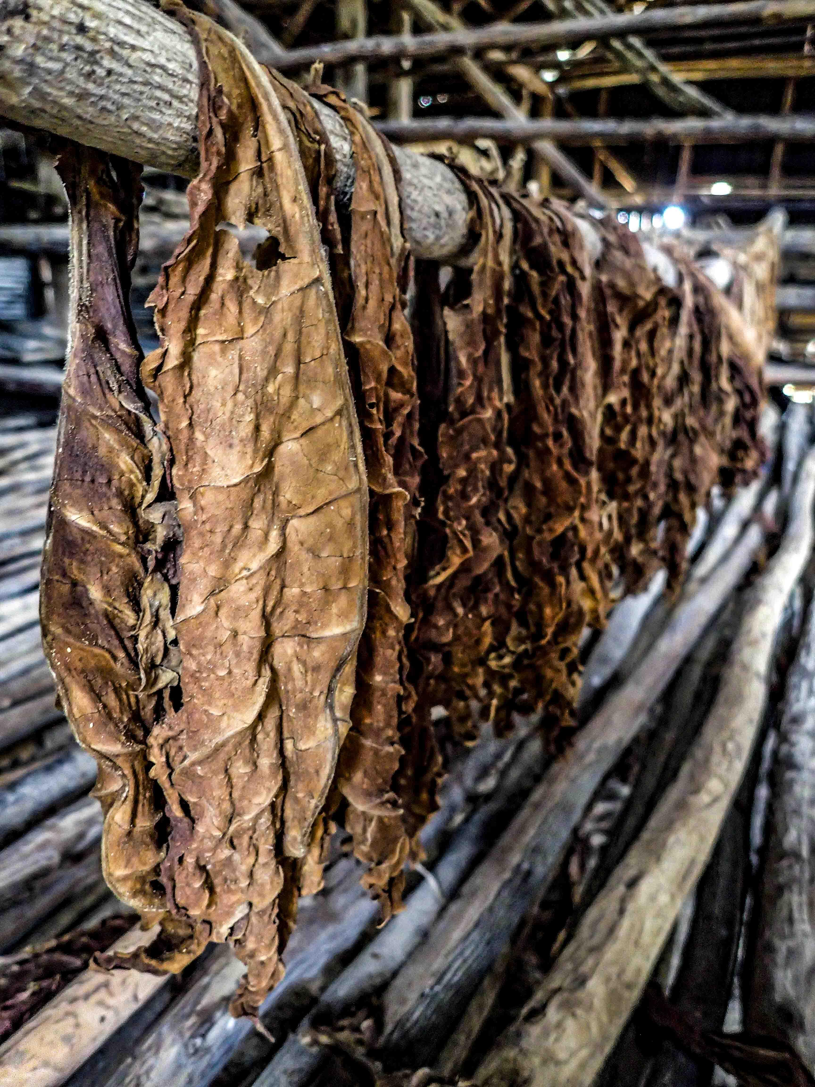 Tabaksbladeren