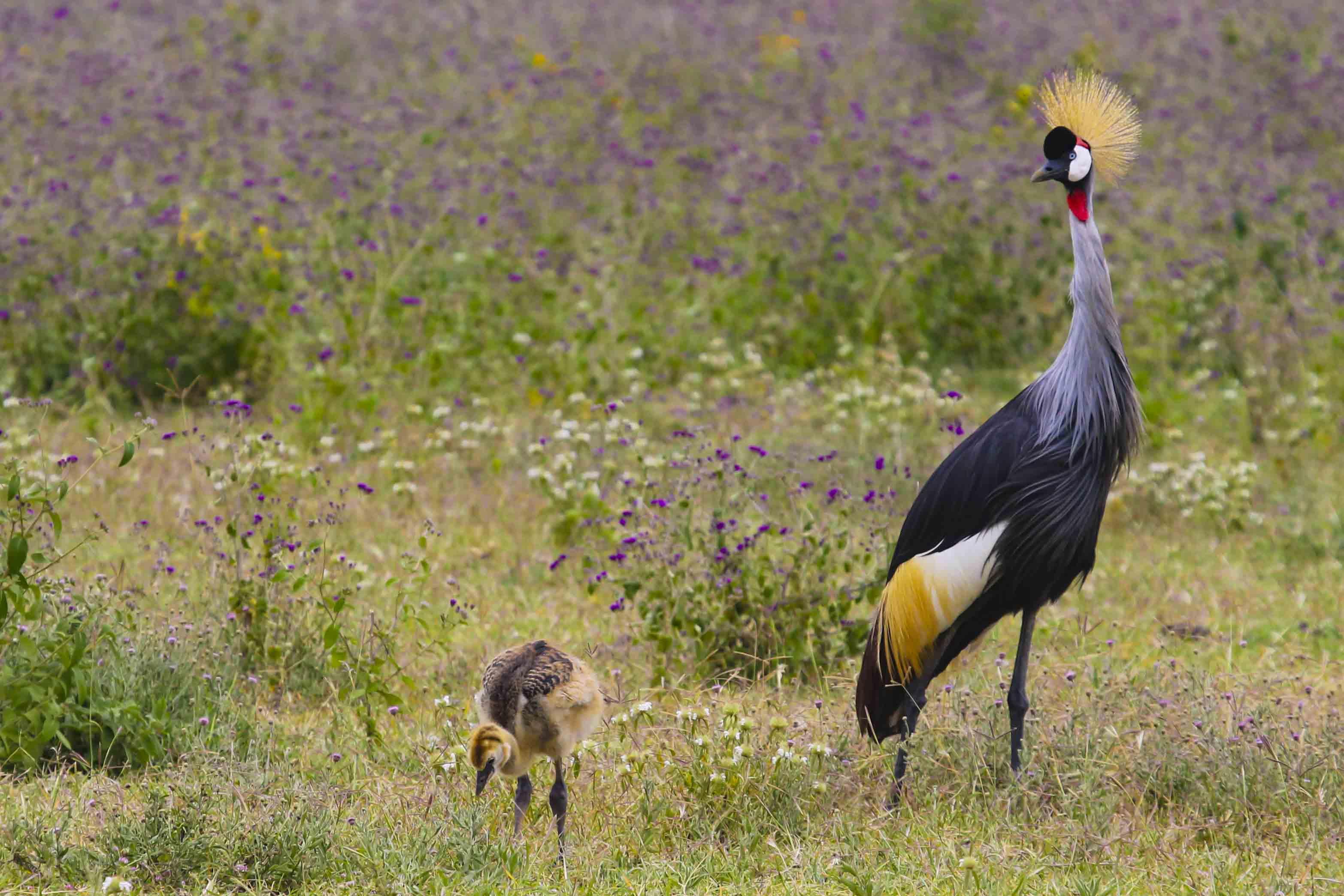 Kroonkraanvogel laat haar jong uit