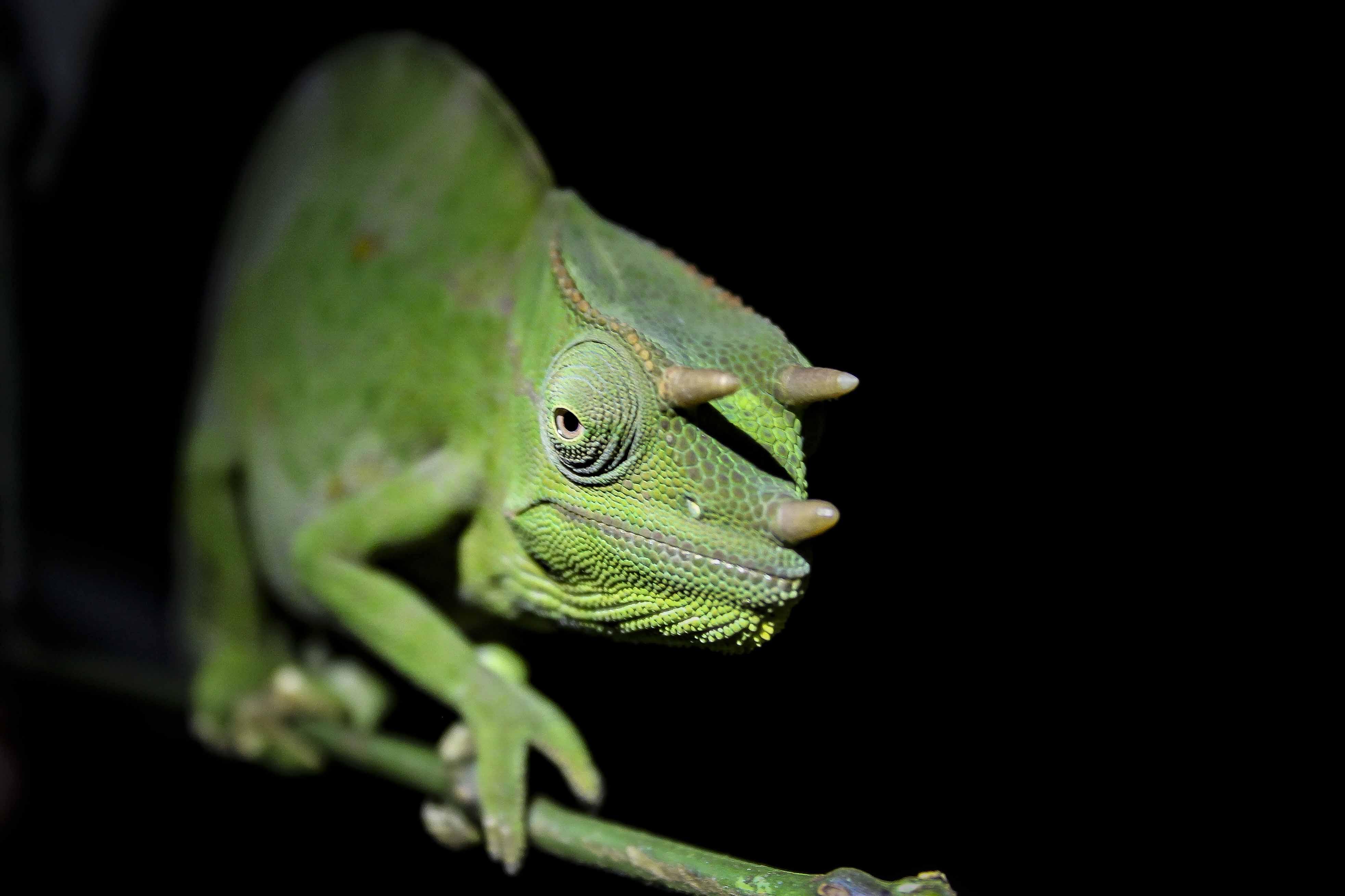 Usambara three-horned chameleon