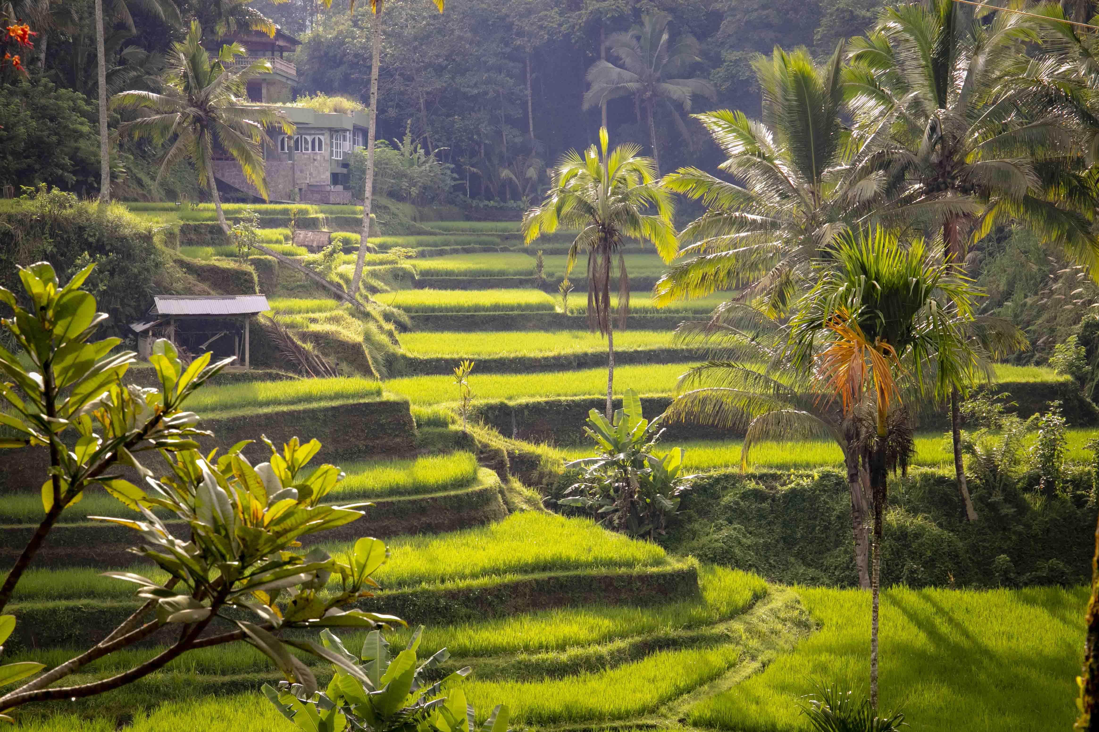 Tegalalang rijstvelden bij Ubud