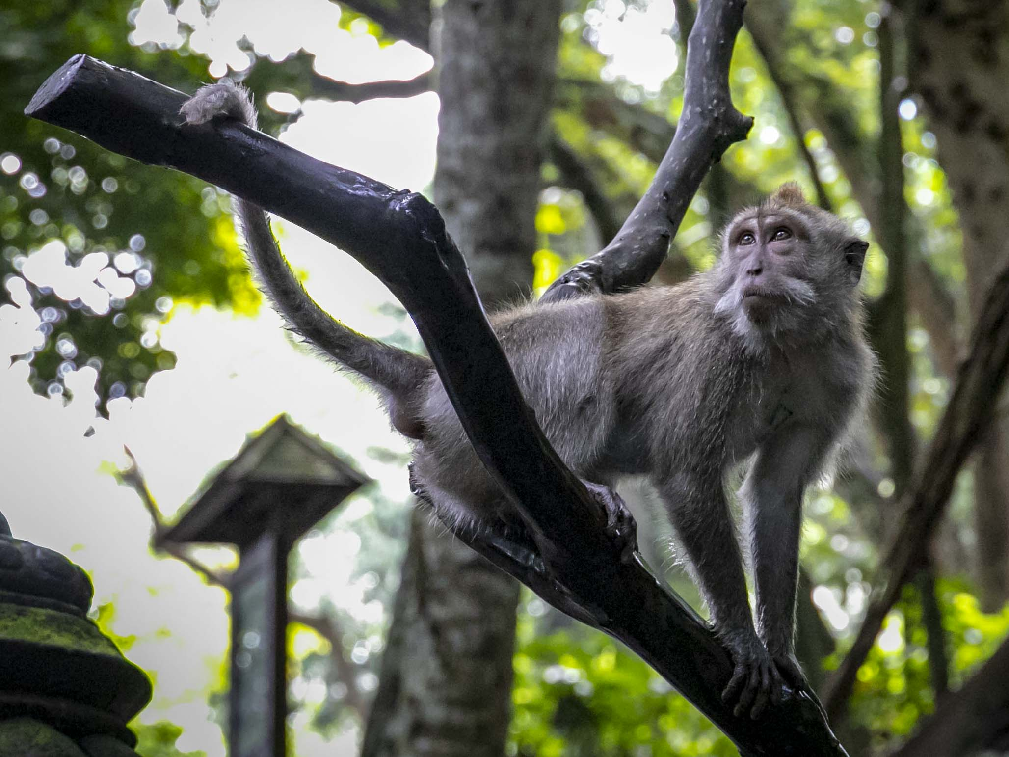 Brutale macacen in het Ubud Monkey Forest