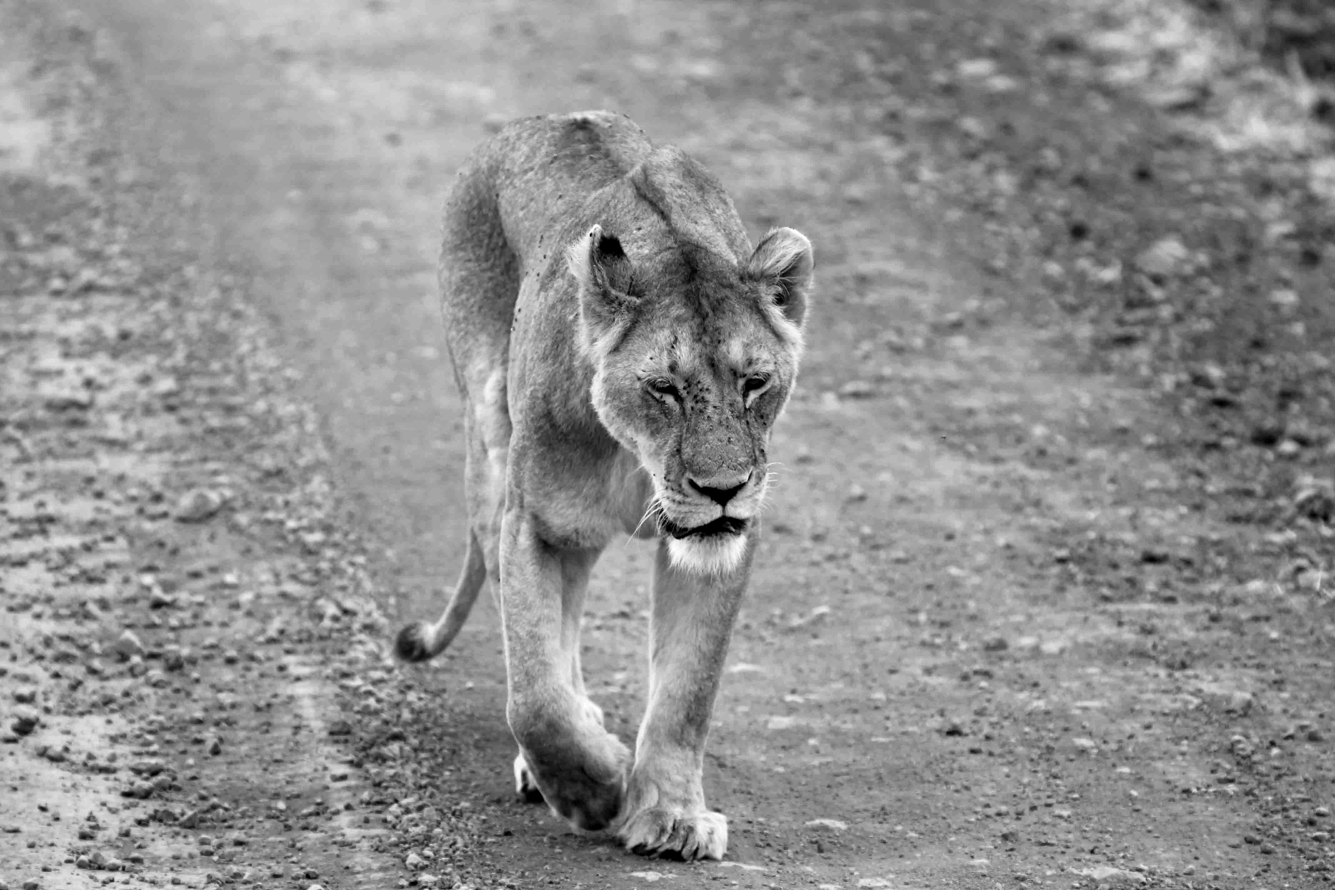 Slenterende leeuwin in de Ngorongoro-krater in Tanzania